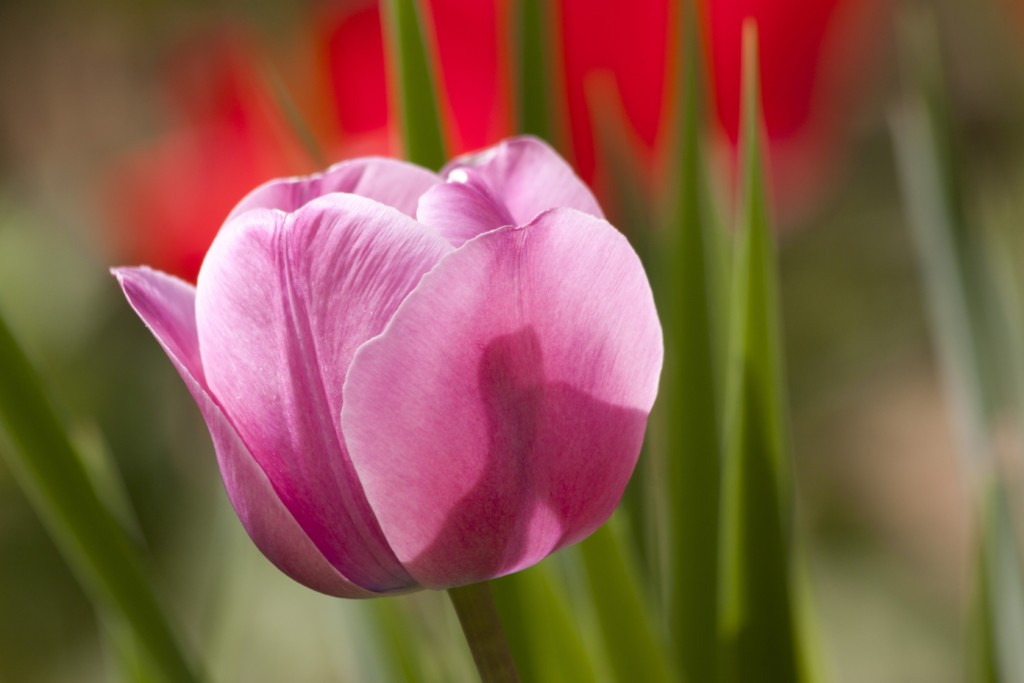 tulip-65789-min